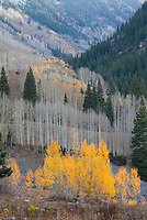 Gray and golden aspens, Lead King Basin, Colorado.