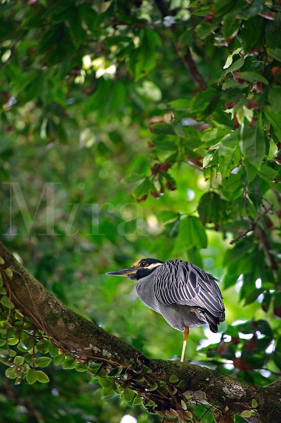 A Yellow-crowned night-heron (Nyctanassa violacea) Manuel Antonio National Park, Manuel Antonio, Costa Rica
