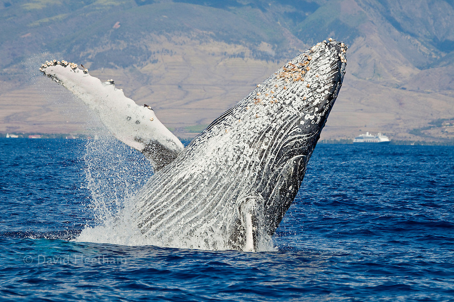 Breaching Humpback whale, Megaptera novaeangliae, in front of Lahaina, Maui, Hawaii.