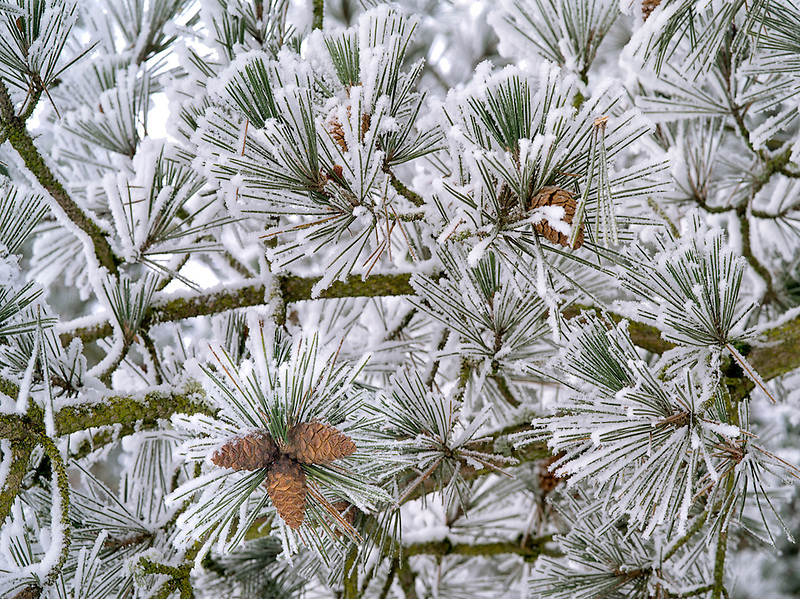 Hoarfrost on pine tree. Oregon