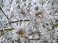 Hoarfrost on pine tree. Oregon