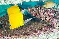 Big Longnose Butterflyfish, Forcipiger longirostris, Rhoda Beach dive site, Christmas Island, Australia, Indian Ocean