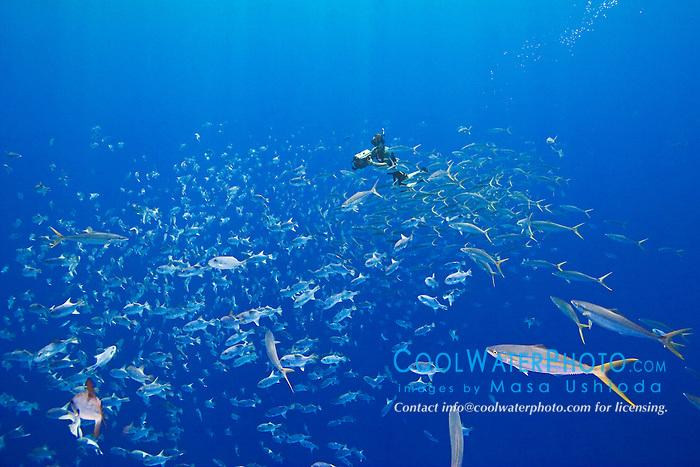 Marine life artist, Wyland, filming schooling rainbow runners, Elagatis bipinnulatus, and spotted oceanic triggerfish, Canthidermis maculata, off Kona Coast, Big Island, Hawaii, Pacific Ocean