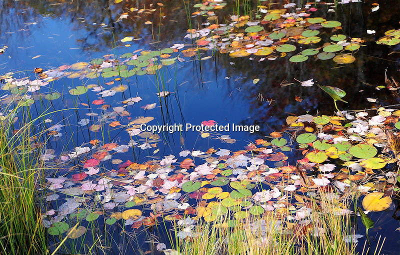 Ashuelot River decorated by Lily Pads and Colorful Leaves during Fall Season in Marlow, New Hampshire USA