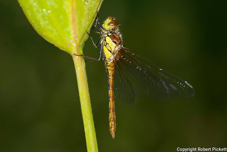 Dragonfly, Common Sympetrum, Sypetrum striolatum, female resting on leaf near pond in garden, brown