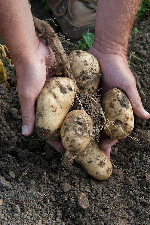 Lifting a crop of potatoes.