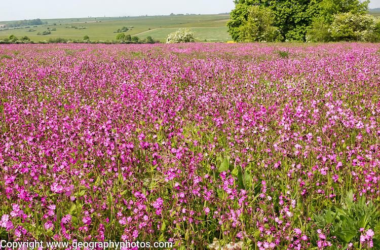 Red campion, Silene dioica, flowering chalk upland grassland Salisbury Plain, near Tilshead, Wiltshire, England, UK