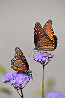 Queens Butterflies