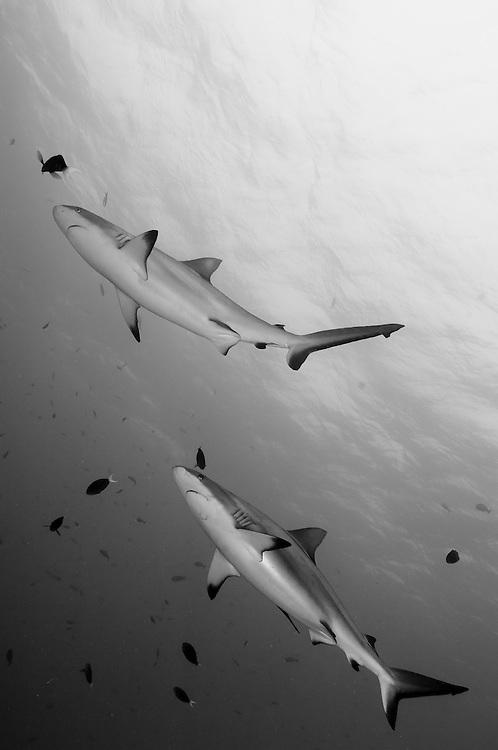 Gray reef shark ( Carcharhinus amblyrhynchos ) , Inglis Shoal, Kimbe Bay