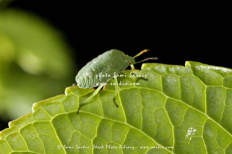 Southern Green Stink Bug (Nezara viridula) camouflaged on a green leaf.