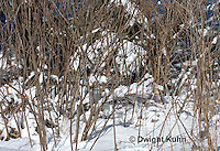 MA19-522z  Snowshoe Hare camouflaged in snow, Lepus americanus