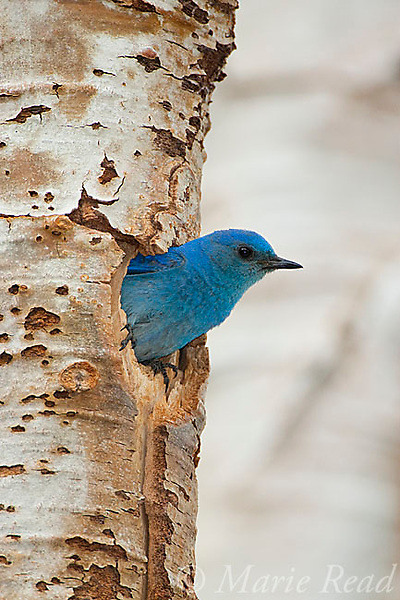 Mountain Bluebird (Sialis currucoides), male looking out of its nest hole in aspen trunk, Mono Lake Basin, California, USA