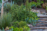 Portulacaria afra, Rainbow Bush, Elephant Bush succulent by stone steps; Patrick Anderson Garden