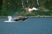 Humpback whale fully breached out of the water in Kenai Fjords National Park.
