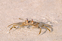 Horned Ghost Crab (Ocypode ceratophthalmus), adult, with eyes protruding from shallow water on sandy beach, Maldives, Asia