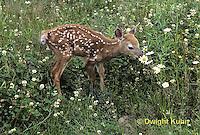 MA11-008z  White-tailed Deer - fawn - Odocoileus virginianus