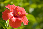 Grand Bahama Island, The Bahamas; a large red hibiscus flower