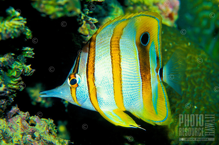 The colorful Copper-banded Butterflyfish (Chelmon rostratus) can be found on display at the Waikiki Aquarium.
