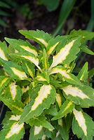 Solenostmon Coleus Colorblaze Alligator Tears annual foliage plant in green with white cream centers leaves