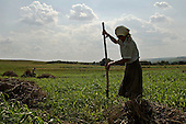 Petrovske, Ukraine.July 27, 2005 ..Raisa Burlenkos, 57, her husband Nikolai, 57, and their daughter Anna, 26 work the fields. They have 8000m2 of land. They are collecting grass for the cows. .....