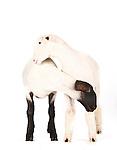 Judi - Sheep and Lambs and Goat Kids