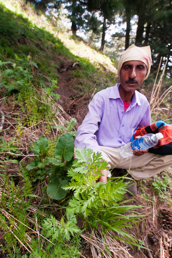 Local guide pointing out a plant with medicinal properties along trail, Gangabal Lake region of Kashmiri Himalayas, India.