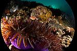Purple anemone in the round, Anilao, Philippines, near Twin Rocks,