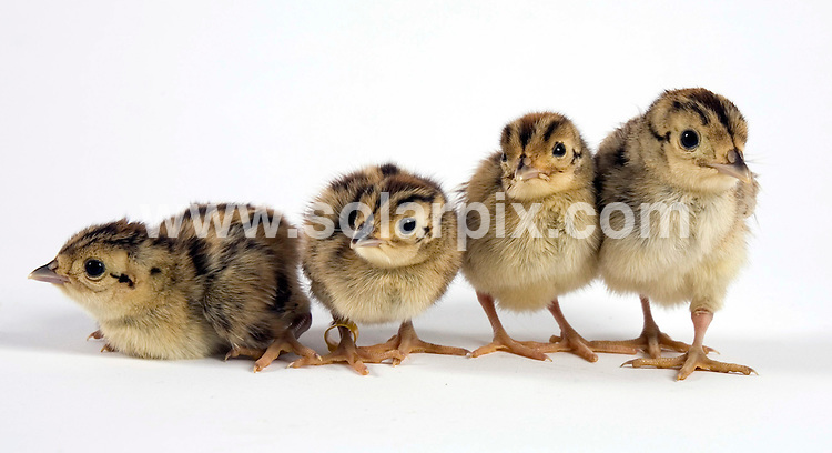 **ALL ROUND PICTURES FROM SOLARPIX.COM**.**NO UK NEWSPAPER PUBLICATION **UK MAGAZINE PUBLICATION ONLY** AND NO PUBLICATION IN FRANCE, SCANDINAVIA, AUSTRALIA AND GERMANY** .These four baby pheasants were rescued by St Tiggywinkles Wildlife Hospital after being caught by a cat in Lacey Green Buckinghamshire..The orphaned siblings are currently being looked after in the hospital's baby nursery.JOB REF: 4242-SFE       DATE:10-07_07 .**MUST CREDIT SOLARPIX.COM OR DOUBLE FEE WILL BE CHARGED* *UNDER NO CIRCUMSTANCES IS THIS IMAGE TO BE REPRODUCED FOR ANY ONLINE EDITION WITHOUT PRIOR PERMISSION*