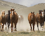 Horses run toward the camera in Three Forks, Montana after completing the 2010 Annual Horse Run.