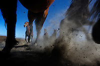 Hooves pound the into the dirt as horses run into the trap set to capture them in Nevada.