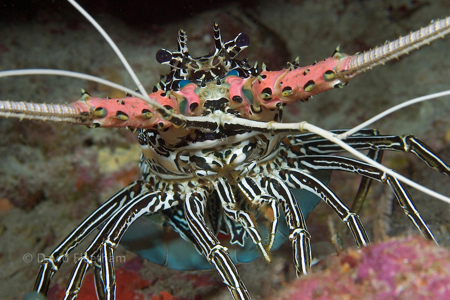 Painted spiny lobster, Panulirus versicolor, Indonesia.
