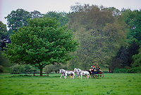 Carriage Driving with team of four grey horses, Berkshire, UK