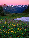 Olympic National Park, WA<br /> Yellow glacier lilies emerge after summer snow melt on hillsides near Obstruction Point with the Olympic Mountains at dusk