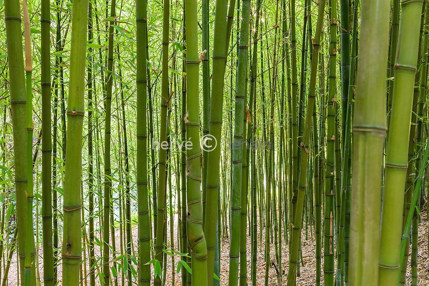Domaine du Rayol en novembre : bambous dans le jardin d'Asie subtropicale.