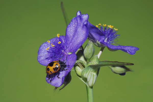 Milkweed Leaf Beetle (Labidomera clivicollis), adult on Prairie Spiderwort (Tradescantia occidentalis), Sinton, Corpus Christi, Coastal Bend, Texas, USA