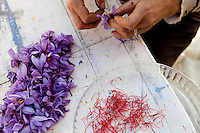 Preparing the saffron for drying, La Ferme Lavancia, Puget-Théniers, France, 25 October 2013. In a delicate operation, the stigma are separated by hand from the rest of the flower, without breaking or squashing them. The other flower parts are then thrown away.
