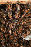 Always building from the top down, bees hang from one another using their back legs to form long chains.