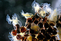Gallertiges Moostierchen, Moostierchen, Cristatella mucedo, Süsswasser-Moostierchen, Freshwater bryozoan, Fresh-water bryozoan