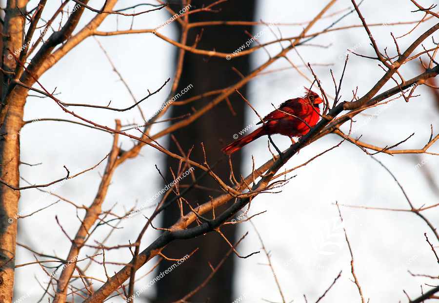 Stock photo: Northern Cardinal bird sitting on a dry leafless tree branch with evening light falling on its face. Abstract, conceptual image of Nature in America.