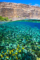 Yellow and achilles tang feeding in the warm waters of Kealakekua Bay, Big Island