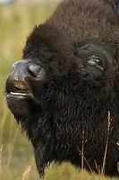 American Bison (Bison bison), Fort quáppelle, Saskachewan, Canada