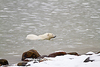 01874-12716 Polar bear (Ursus maritimus) swimming in Hudson Bay in winter, Churchill Wildlife Management Area, Churchill, MB Canada