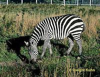 MA38-007z  Zebra - eating grass - Equus spp.