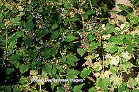 63808-01910 Porcelain Berry Vine (Ampelopsis brevipedunculata) Marion Co.   IL