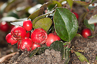 Niedere Scheinbeere, Niederliegende Scheinbeere, Rebhuhnbeere, Rebhuhn-Beere, Wintergrün, Frucht, Früchte, Gaultheria procumbens, eastern teaberry, checkerberry, boxberry, American wintergreen