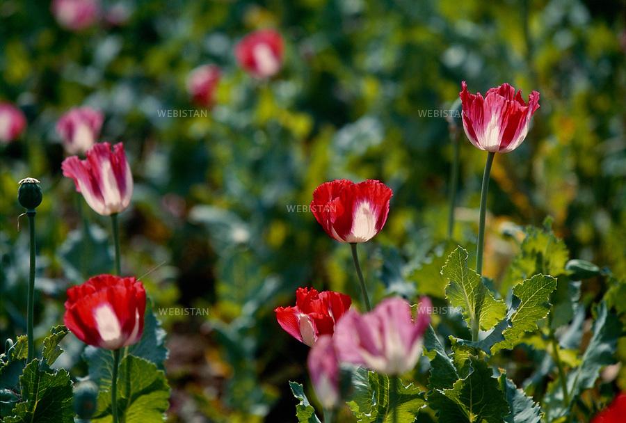 2004. Poppy flower. Fleurs de pavot.