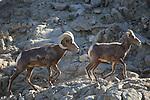 Peninsular bighorn sheep,  ram following ewe