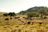 USA, California, Healdsburg, cows in a pasture alongside of highway 101