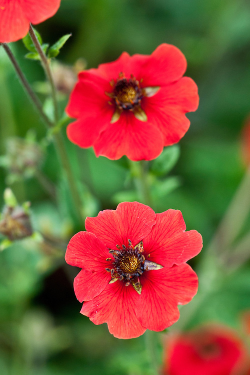 Potentilla 'Gibson's Scarlet', early August.