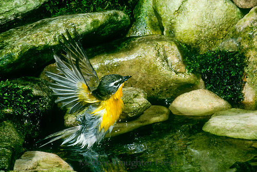 Yellow throated warbler, Dendroica dominica, splashing and bathing in garden pool, Midwest USA